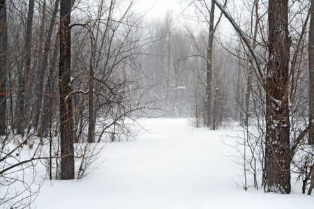 Forest in snow during winter blizzard. photo