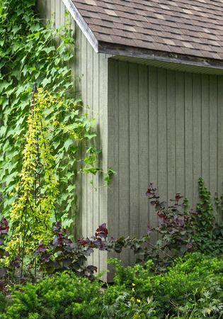 vertical garden: Ivy crawling up the wall of a wooden house