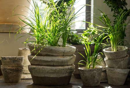 ollas de barro: Las plantas verdes en ollas de barro antiguo, cerca de la ventana Foto de archivo