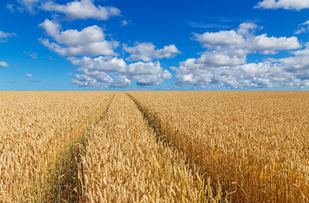 Path in a golden wheat field, under blue sky with clouds   photo