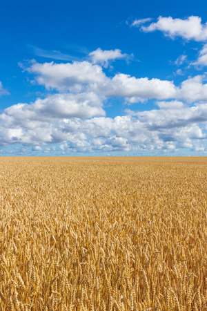 Rural landscape  Golden wheat field under blue sky with clouds   photo