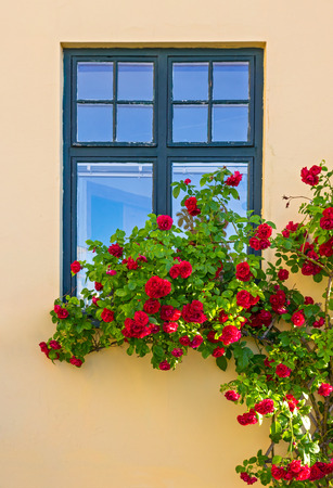vertical garden: Roses decorating a house in Visby, capital of Gotland, Sweden