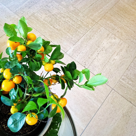 Potted plants: Tangerine tree in a pot, on tile background.