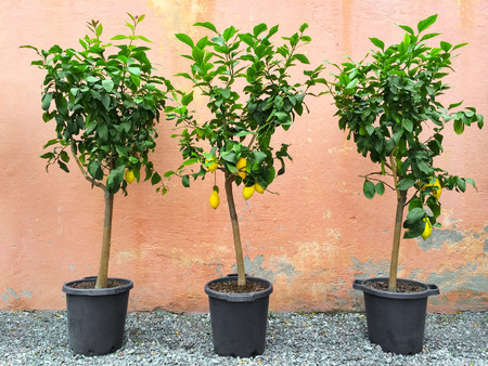 lemon tree: Lemon trees with ripe fruits, decorating house exterior.