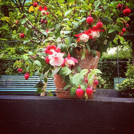 fuchsia flower: Beautiful pink fuchsia in green summer garden.