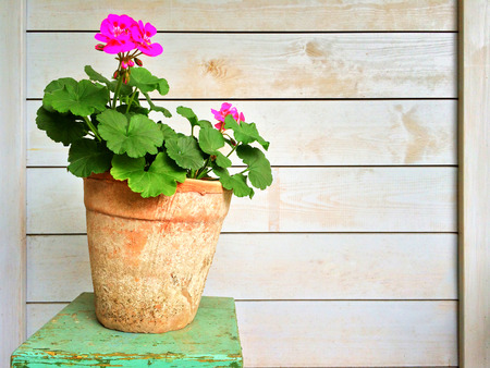 geranium color: Geranium in old clay pot, garden decoration.