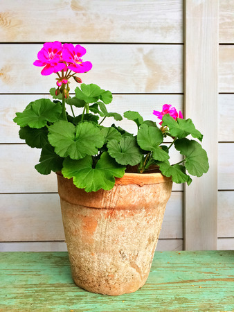 magenta decor: Blooming geranium in old clay pot, garden decoration. Stock Photo