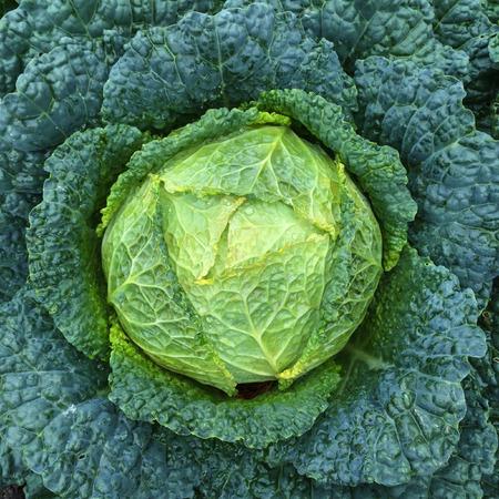 savoy cabbage: Close-up of green Savoy cabbage. Summer vegetable garden.