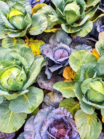 cabbage patch: Colorful green and purple cabbage in summer vegetable garden.