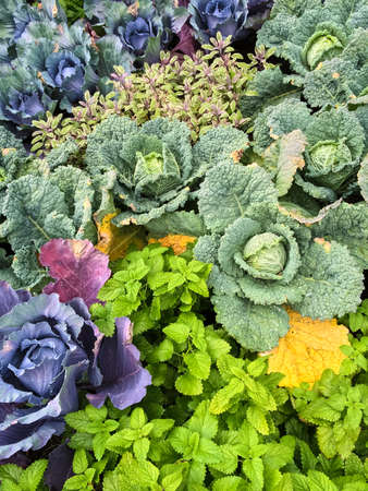 patches: Colorful summer vegetable garden with cabbage and herbs. Stock Photo