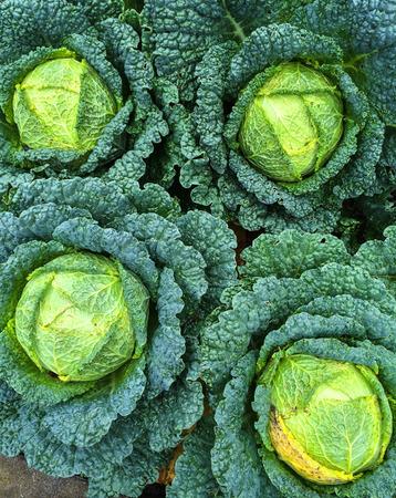 savoy cabbage: Savoy cabbage growing in summer vegetable garden. Stock Photo