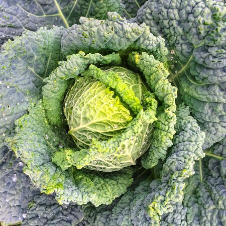 savoy cabbage: Close-up of Savoy cabbage growing in summer vegetable garden.