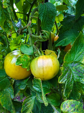 canada agriculture: Tomatoes ripening on a vine. Late summer, Canada. Stock Photo