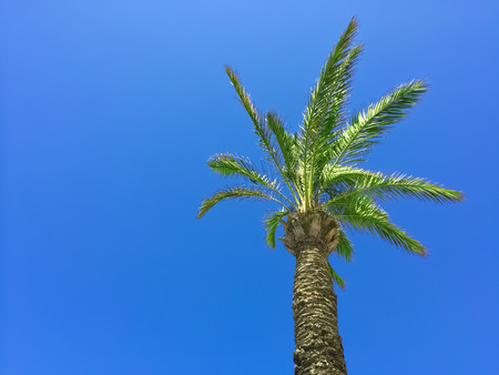 clear sky: Palm tree on clear blue sky background. Stock Photo