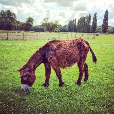 tree farming: Poitou donkey, female. A breed originating in the Poitou region of France. Stock Photo