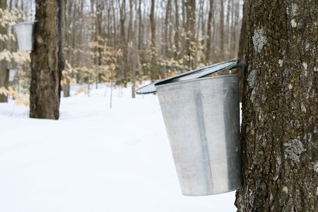 sap: Droplet of maple sap falling into a pail. Maple syrup production.