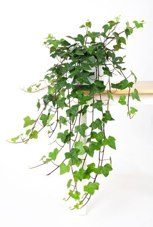houseplant: Beautiful green ivy in pot on a table. Stock Photo
