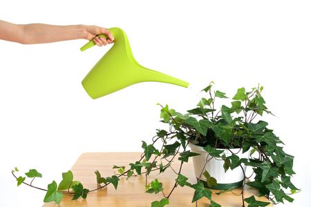 wateringcan: Female hand watering beautiful green ivy in pot.