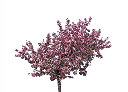 flowering: Blooming plum tree, isolated on white background.