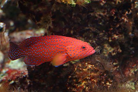 Dark Blue-dot Grouper, Sea fish photo