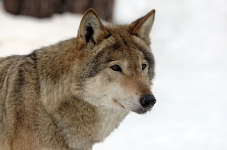 wolf head: picture of a Young female wolf with white background