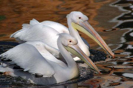 early morning pair white pelicans in a spawning dress float on lake Stock Photo - 414649