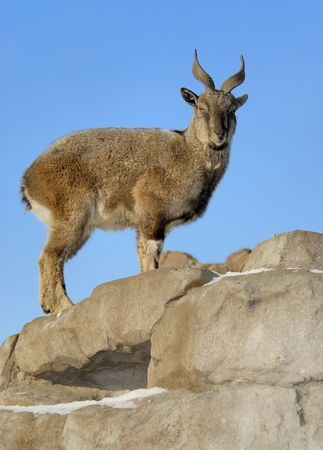appeared: Early morning, female markhor has appeared for an instant on edge of a rock