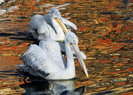 spawning: los pelicans dalmatian de la ma�ana temprana se aparean en un flotador de freza del vestido en el lago Foto de archivo