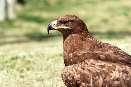 aquila: Portrait of an golden eagle (Aquila chrysaetos)