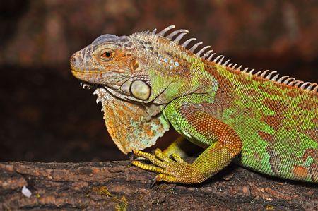 fulcrum: male green iguana (Iguana iguana) on the fulcrum of a treemale