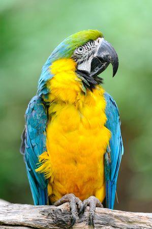 ararauna: Guacamayo azul y amarillo ? (Ara ararauna)