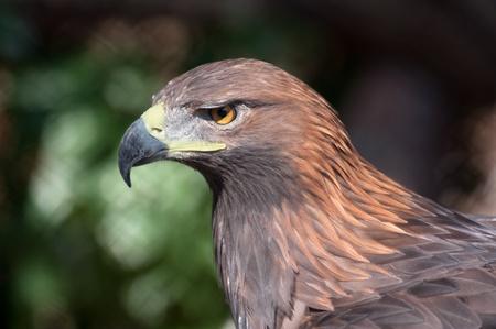 aigle royal: Portrait d'un aigle d'or - (Aquila chrysaetos) Banque d'images
