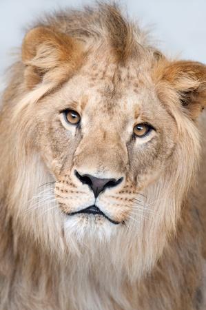 panthera leo: Close-up portrait of a lion - (Panthera leo) Stock Photo