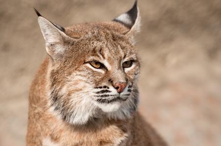 bobcat: Bobcat - (Lynx rufus) Foto de archivo