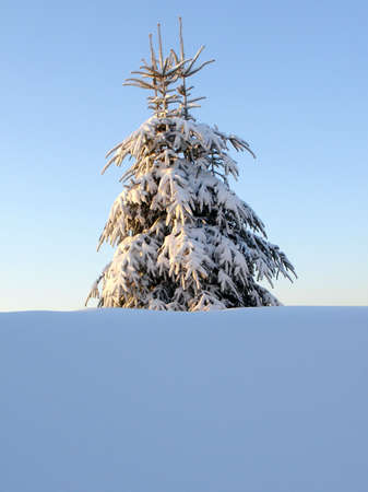 Snowy pine tree with three tops
