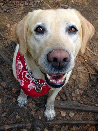 Labrador #1, hungry dog named Feline photo