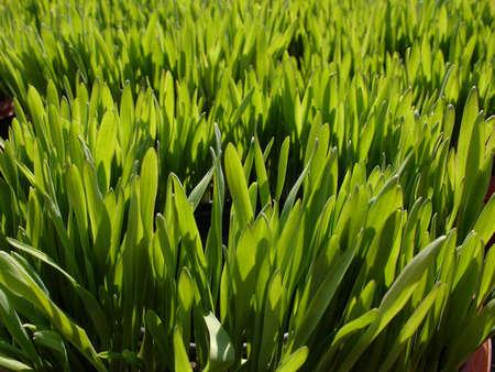 Green pousses au d�but du printemps  Banque d'images