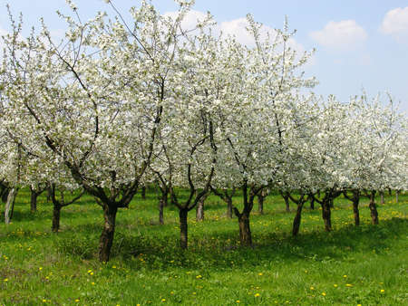 Spring cherry orchard 1 Stock Photo