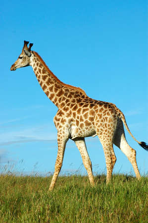 Giraffe - Kameelperd (Giraffa camelopardalis) walking in a game park in South Africa photo