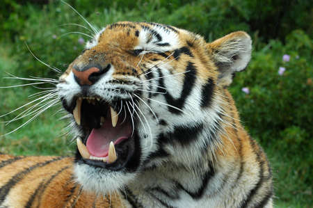 yellow teeth: A tired tiger yawning in a game park