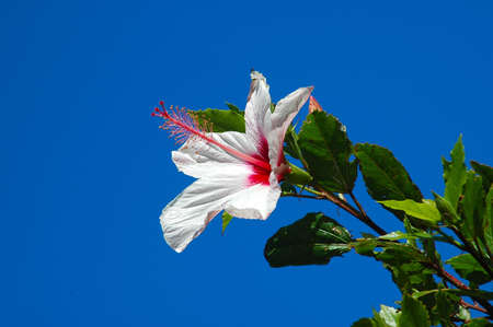 A beautiful Hibiscus rosa sinensis flower in front of blue sky background Stock Photo - 700183