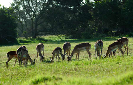 impala: An Impala antelope herd grazing in a game park in South Africa Stock Photo