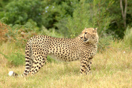 savannas: An alert Cheetah watching other Cheetahs in a game reserve in South Africa