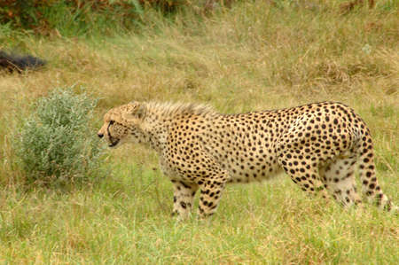 An alert Cheetah watching other Cheetahs in a game reserve in South Africa photo