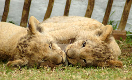 Head portraits of two cute lion cubs playing in a game park in South Africa