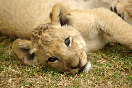 A cute lion cub head portrait watching other lions in a game park in South Africa photo