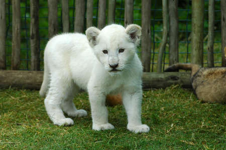 elizabeth: A seven weeks old cute rare white lion cub walking in a game park in South Africa