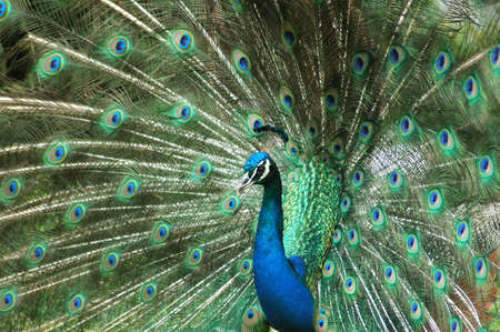 impress: Blue Peacock male watching other peacocks in the rain