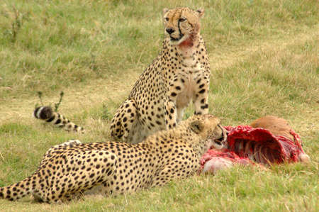 Cheetahs with kill eating in a game reserve in South Africa photo