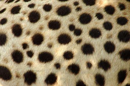 guepardo: Cheetah piel